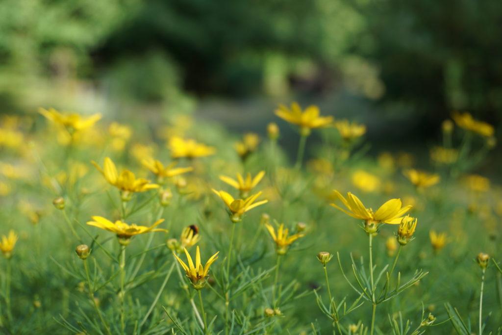 zolte kwiaty wies